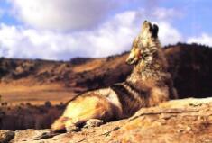 一物像狗又像狐,灰黄衣服尾巴粗,会在路上把人咬,也到村里叼羊猪(打一动物)谜底及原因