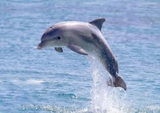 老家原本在海洋,动物园里被观赏,顶球戏水玩游戏,遇险救人很善良(打一动物)谜底及原因