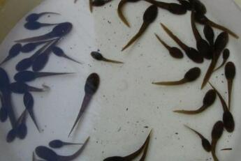 小黑鱼,光滑滑,脑壳倒比身子大(打一动物)谜底及原因