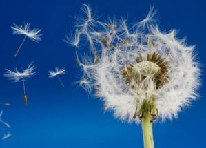 小伞兵,满天飞,落到田野里,再也飞不起(打一植物)谜底及原因