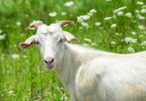 穿白衣,爱吃草,唱起歌来咩咩叫(打一动物)谜底及原因