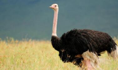 体型巨大跑得快,脖子长却没有毛(打一动物)谜底及原因
