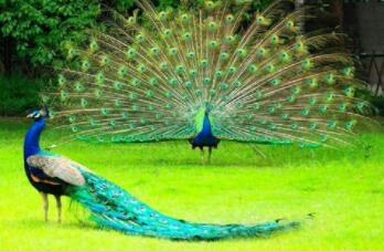 模样像鸡不是鸡,全身花绿好美丽(打一动物)谜底及原因