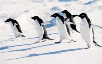 本是古老一游禽,零下百度能安家,唯它南极能生存,遇人相迎不害怕(打一动物)谜底及原因