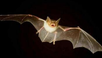 会飞不是鸟,两翅没羽毛,白天休息晚活动,捕捉蚊子本领高(打一动物)谜底及原因