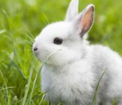 耳朵长,尾巴短,红眼睛,白毛衫,三瓣嘴儿胆子小,青菜萝卜吃个饱(打一动物)谜底及原因