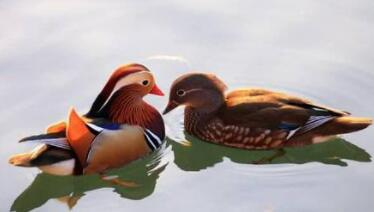 性子像鸭水里游,样子像鸟天上飞,游玩休息成双对,夫妻恩爱永不离(打一动物)谜底及原因