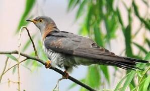 背面灰色腹有斑,繁殖习性很罕见,卵蛋产在邻鸟窝,代它孵育自消遣(打一动物)谜底及原因