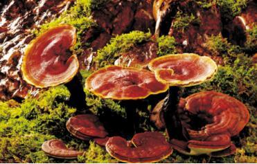 状如蘑菇一珍宝,当年白蛇将它盗,其实是味好草药,滋补健身价值高(打一植物)谜底及原因