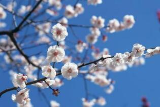有叶不开花,开花不见叶,花开百花前,飘香傲风雪(打一植物)谜底及原因