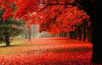 干高杈多叶如爪,一到深秋穿红袄,球状果实刺儿多,驱风祛湿有疗效(打一植物)谜底及原因