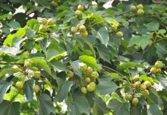 干短杈多叶子大,青色灯笼树上挂,要是用它把油榨,家具船舱寿命加(打一植物)谜底及原因